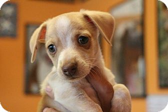 Dachshund Mix Puppy for adoption in New Orleans, Louisiana - Clyde