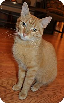 Domestic Shorthair Cat for adoption in Reston, Virginia - Rusty