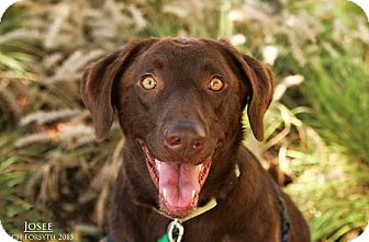 Labrador Retriever Mix Dog for adoption in Portland, Oregon - Josee