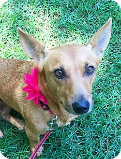 Dachshund/Terrier (Unknown Type, Medium) Mix Dog for adoption in Chattanooga, Tennessee - Goldie