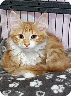 Maine Coon Kitten for adoption in Freeport, New York - Storm