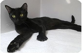 Domestic Shorthair Cat for adoption in Red Bluff, California - Morticia