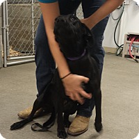 Adopt A Pet :: Lab Mix-Saline County IL - Plainfield, IL