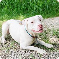 Adopt A Pet :: Simon - Des Peres, MO