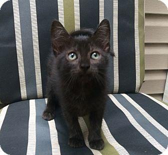 Domestic Shorthair Kitten for adoption in Houston, Texas - Happy