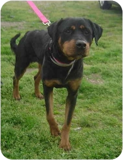 Rottweiler/Labrador Retriever Mix Dog for adoption in Freeport, New York - Sandy