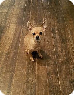 Chihuahua Dog for adoption in Greensboro, Georgia - Nina