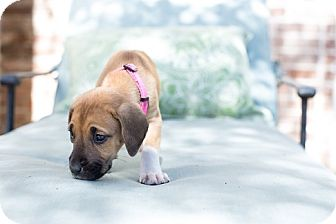 Hound (Unknown Type) Mix Puppy for adoption in San Francisco, California - Merida