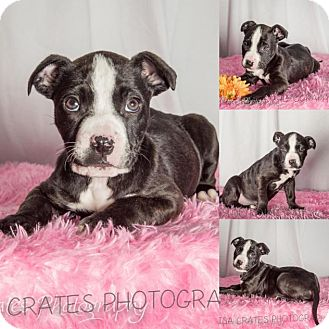 American Pit Bull Terrier Mix Puppy for adoption in Harrisburg, North Carolina - Violet