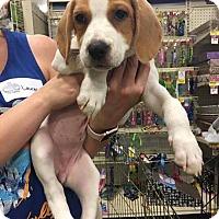 Adopt A Pet :: Miss Piggy - Gainesville, FL