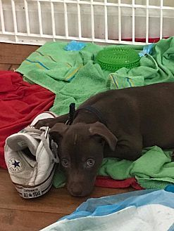 Labrador Retriever/Pit Bull Terrier Mix Puppy for adoption in Tampa, Florida - Jordan