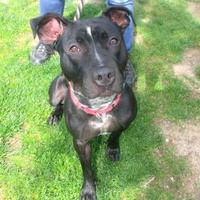 American Pit Bull Terrier Mix Dog for adoption in Wantagh, New York - Shadow