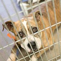 Adopt A Pet :: A3976198 - Phoenix, AZ