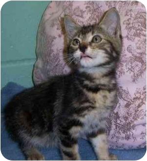 Domestic Shorthair Cat for adoption in Brenham, Texas - Rachel
