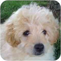 Bichon Frise Mix Puppy for adoption in La Costa, California - Little Joe