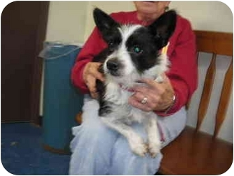 """Terrier (Unknown Type, Small) Mix Dog for adoption in MARION, Virginia - """"Morgan"""""""