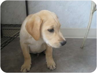 Labrador Retriever Mix Puppy for adoption in Rock Springs, Wyoming - MIndy