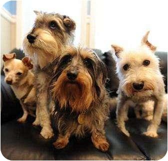 American Eskimo Dog/Schnauzer (Miniature) Mix Dog for adoption in Oak Ridge, New Jersey - Adopt a Shy Dog