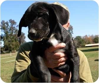 Labrador Retriever Mix Puppy for adoption in Thomaston, Georgia - Carl
