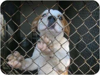 Husky/Boxer Mix Puppy for adoption in Henderson, North Carolina - Sinatra