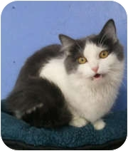 Domestic Mediumhair Cat for adoption in Anchorage, Alaska - Blyss