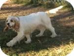Cocker Spaniel Dog for adoption in East Hartford, Connecticut - Princess ADOPTION PENDING