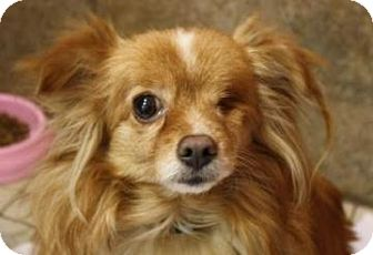 Pomeranian Mix Dog for adoption in West Des Moines, Iowa - Sassy