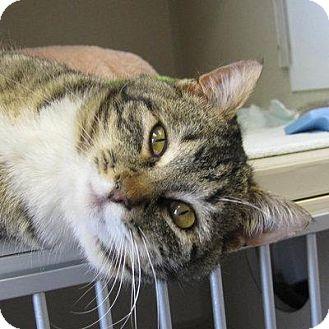 Domestic Shorthair Cat for adoption in Denver, Colorado - Zeno
