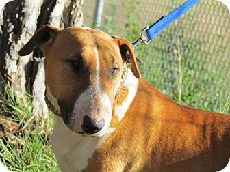 Bull Terrier Dog for adoption in Estancia, New Mexico - Aubrey
