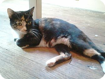 Domestic Shorthair Cat for adoption in Saint Clair Shores, Michigan - Pudding
