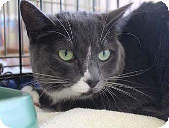 Domestic Shorthair Cat for adoption in Merrifield, Virginia - Dawn