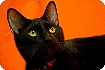 Domestic Shorthair Cat for adoption in Fort Smith, Arkansas - Stoney