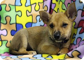 Shepherd (Unknown Type) Mix Puppy for adoption in Westminster, Colorado - Cagliari