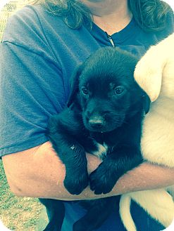 Golden Retriever/Labrador Retriever Mix Puppy for adoption in Nashville, Tennessee - RINGO