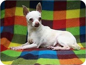 Chihuahua Dog for adoption in Old Fort, North Carolina - Belle