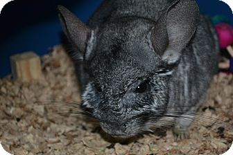 Chinchilla for adoption in Patchogue, New York - Dusty