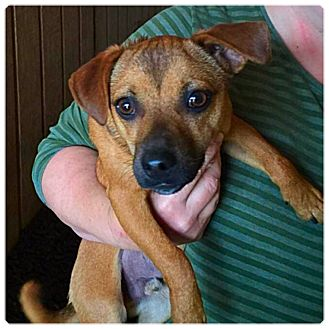 Dachshund/Chihuahua Mix Dog for adoption in Powder Springs, Georgia - Axe