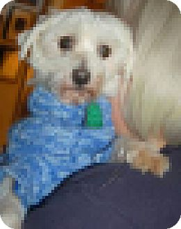 Maltese Dog for adoption in West Harrison, New York - Rowdy (KY)
