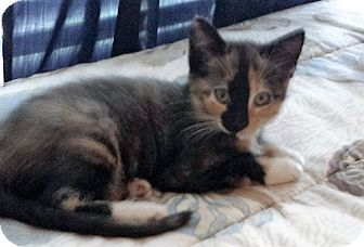 Domestic Mediumhair Kitten for adoption in HOUSTON, Texas - calico