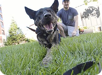 German Shepherd Dog/Cattle Dog Mix Dog for adoption in Jersey City, New Jersey - Marvin Gaye