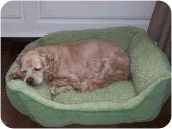 Cocker Spaniel Dog for adoption in Long Beach, New York - LuLu