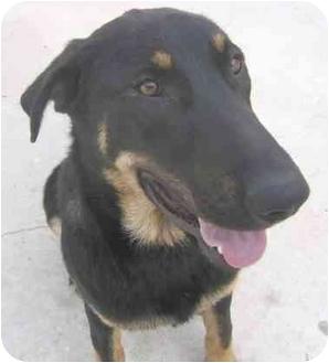 German Shepherd Dog/Labrador Retriever Mix Dog for adoption in Rolling Hills Estates, California - Sienna