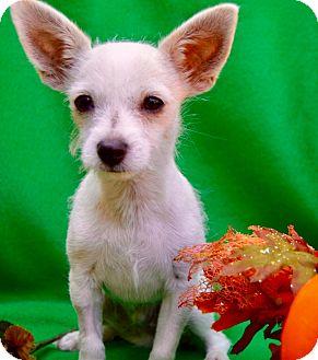 Chihuahua/Terrier (Unknown Type, Medium) Mix Puppy for adoption in Irvine, California - Serrano