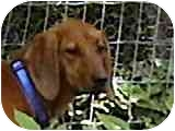 Redbone Coonhound Dog for adoption in Buffalo, New York - Roxy