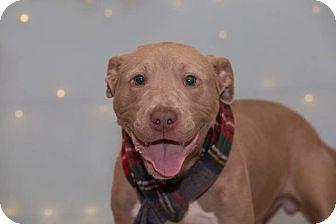 Terrier (Unknown Type, Medium) Mix Puppy for adoption in Flint, Michigan - Chesney