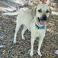 Adopt A Pet :: Spectra - Chiefland, FL