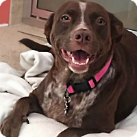 German Shorthaired Pointer/Boykin Spaniel Mix Dog for adoption in Madisonville, Tennessee - Magnolia