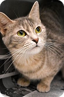 Domestic Shorthair Cat for adoption in Prince George, Virginia - Marie