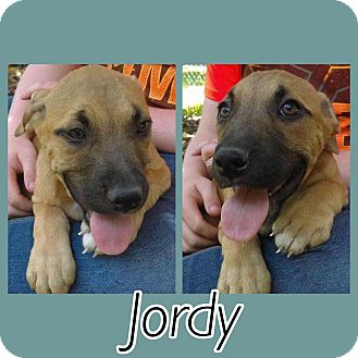 Boxer/Black Mouth Cur Mix Puppy for adoption in Oxford, Connecticut - Jordy