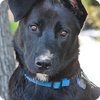 Adopt A Pet :: Zeus von Zeven - Los Angeles, CA